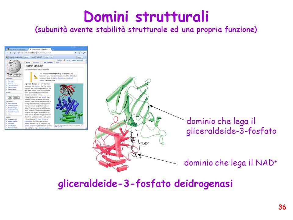 Domini strutturali (subunità avente stabilità strutturale ed una propria funzione) gliceraldeide-3-fosfato deidrogenasi dominio che lega il NAD + dominio che lega il gliceraldeide-3-fosfato 36