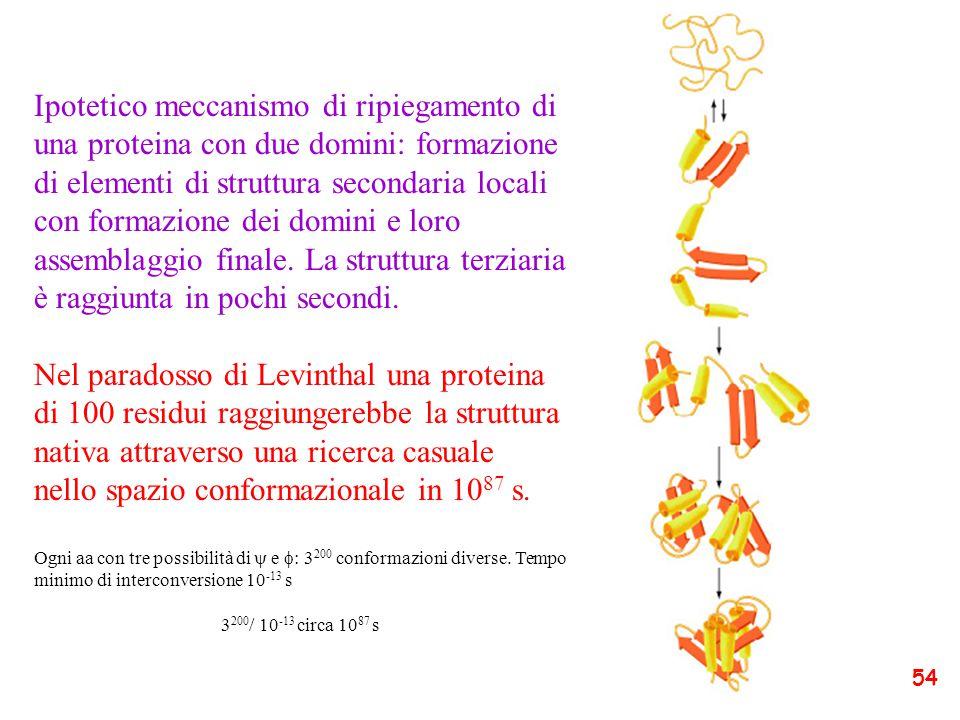 Ipotetico meccanismo di ripiegamento di una proteina con due domini: formazione di elementi di struttura secondaria locali con formazione dei domini e