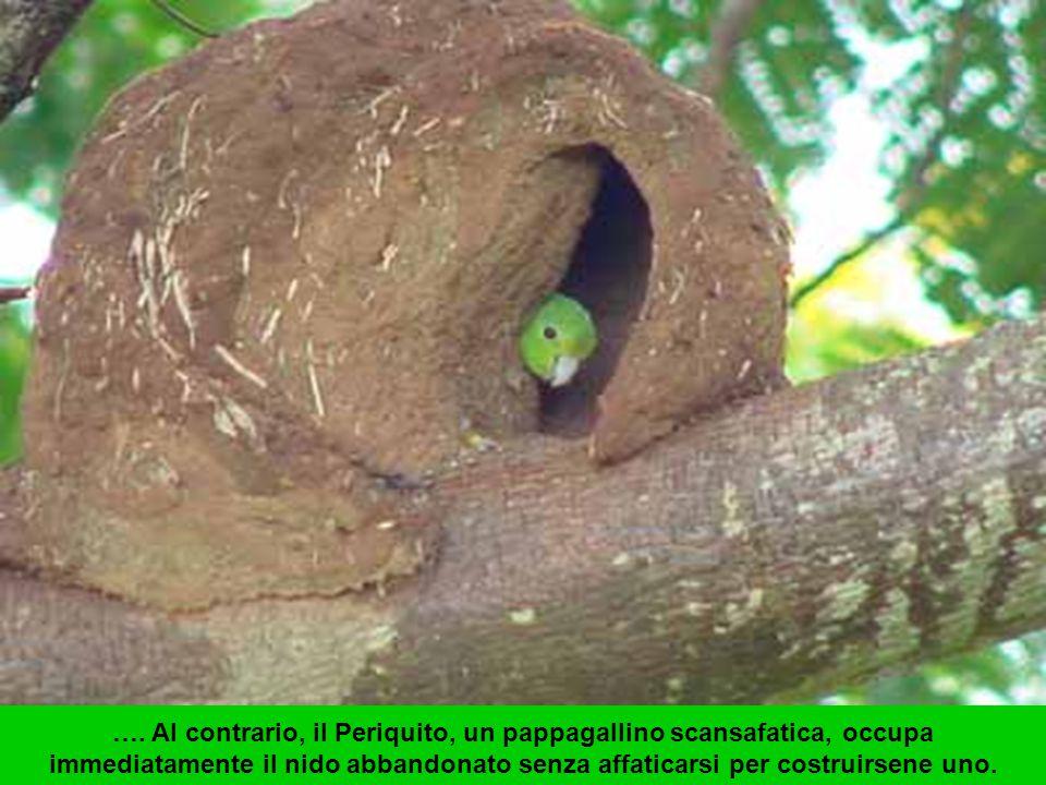 Dopo circa due settimane il nido è pronto e la femmina depone le uova.