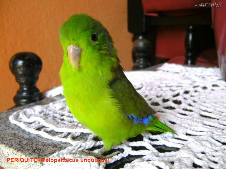 …. Al contrario, il Periquito, un pappagallino scansafatica, occupa immediatamente il nido abbandonato senza affaticarsi per costruirsene uno.