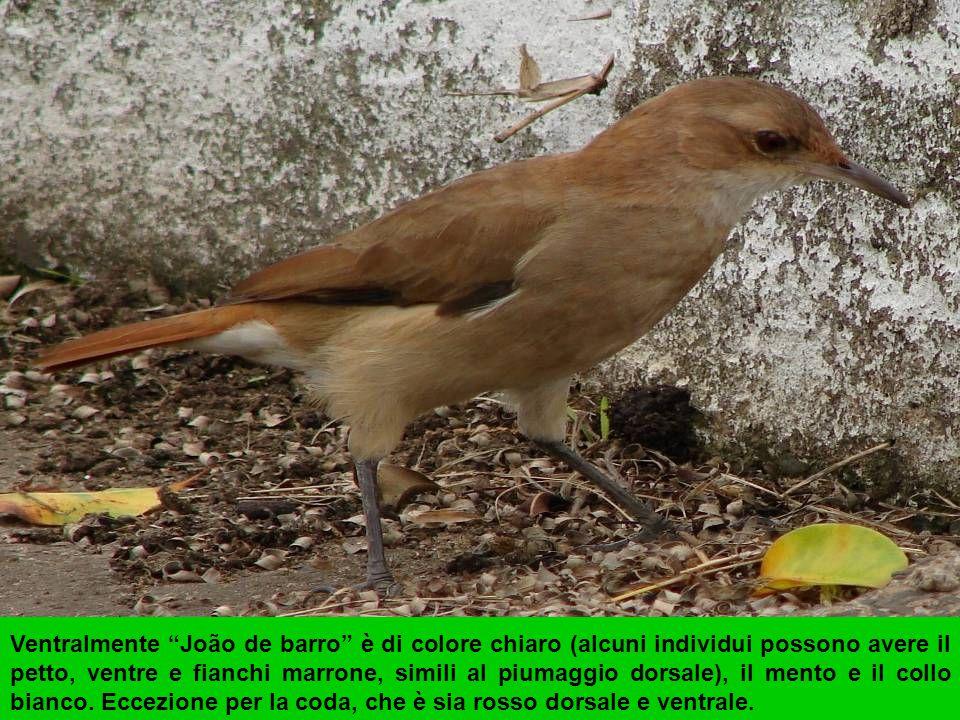 PERIQUITO (Melopsittacus undulatus)