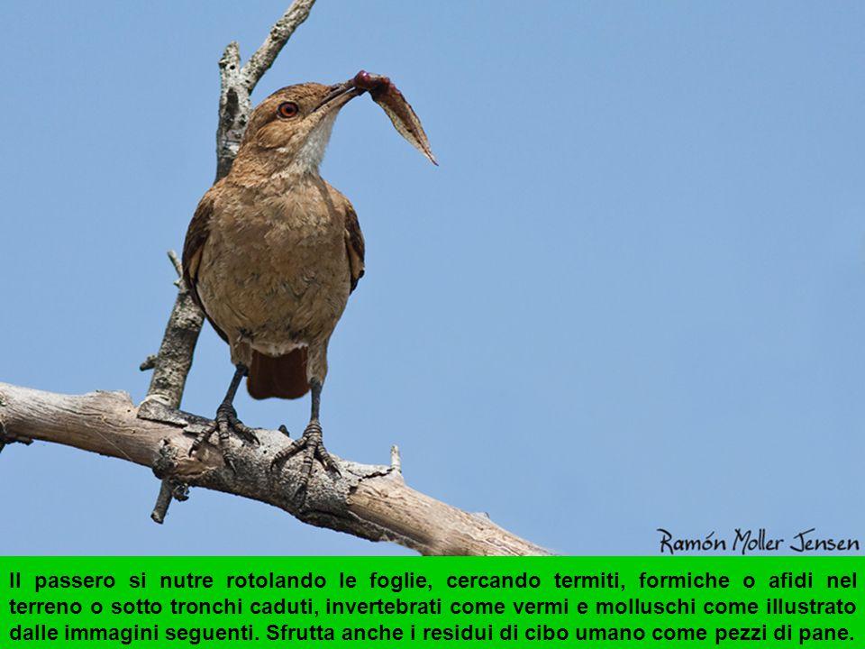 Ventralmente João de barro è di colore chiaro (alcuni individui possono avere il petto, ventre e fianchi marrone, simili al piumaggio dorsale), il mento e il collo bianco.