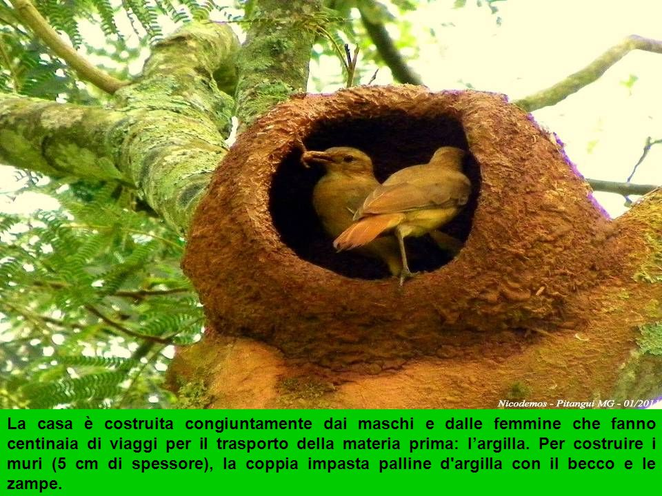 Il João-de-barro letteralmente Giovanni dell'argilla è un passeriforme della famiglia furnariidae.