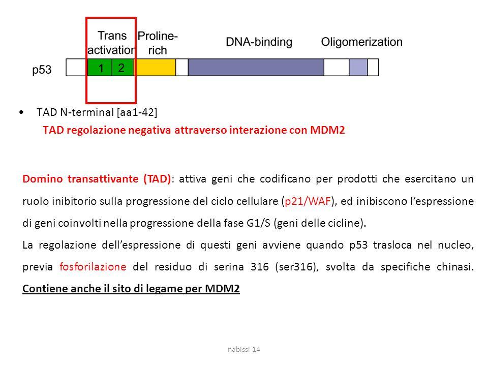 TAD N-terminal [aa1-42] TAD regolazione negativa attraverso interazione con MDM2 nabissi 14 Domino transattivante (TAD): attiva geni che codificano per prodotti che esercitano un ruolo inibitorio sulla progressione del ciclo cellulare (p21/WAF), ed inibiscono l'espressione di geni coinvolti nella progressione della fase G1/S (geni delle cicline).