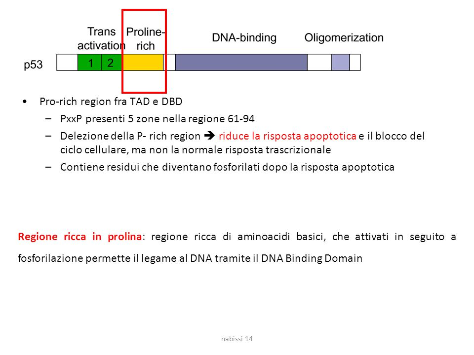 Pro-rich region fra TAD e DBD –PxxP presenti 5 zone nella regione 61-94 –Delezione della P- rich region  riduce la risposta apoptotica e il blocco del ciclo cellulare, ma non la normale risposta trascrizionale –Contiene residui che diventano fosforilati dopo la risposta apoptotica nabissi 14 Regione ricca in prolina: regione ricca di aminoacidi basici, che attivati in seguito a fosforilazione permette il legame al DNA tramite il DNA Binding Domain