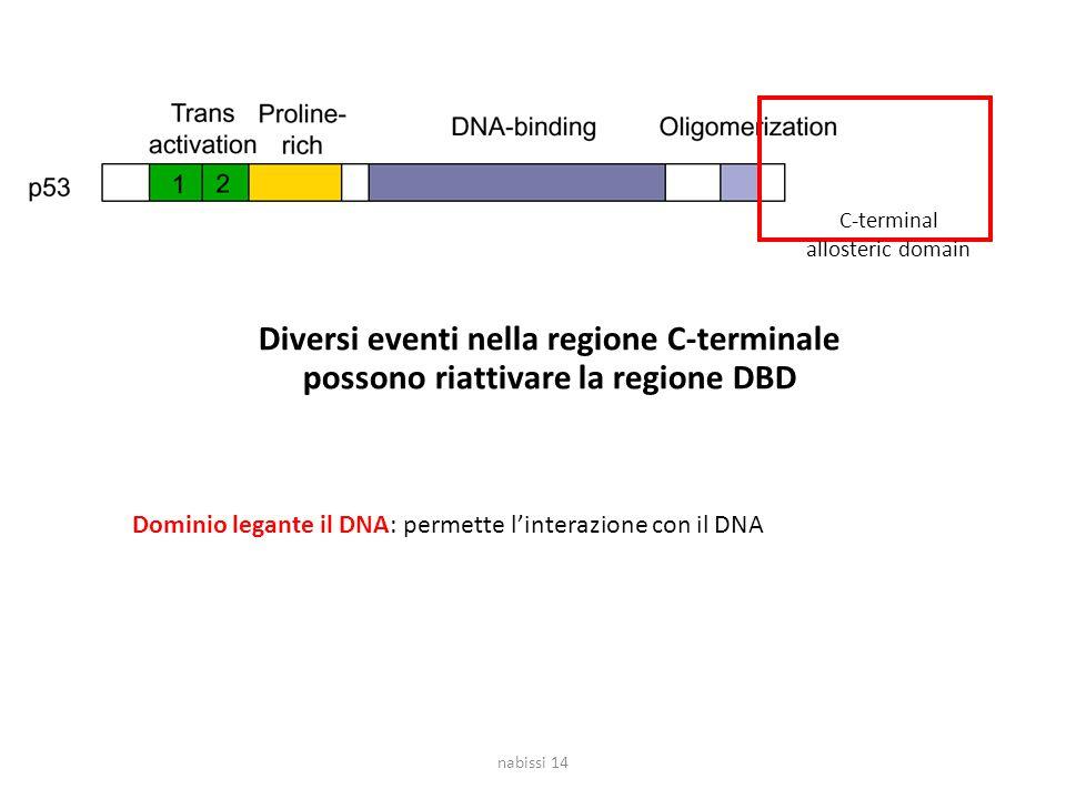 C-terminal allosteric domain Diversi eventi nella regione C-terminale possono riattivare la regione DBD nabissi 14 Dominio legante il DNA: permette l'interazione con il DNA