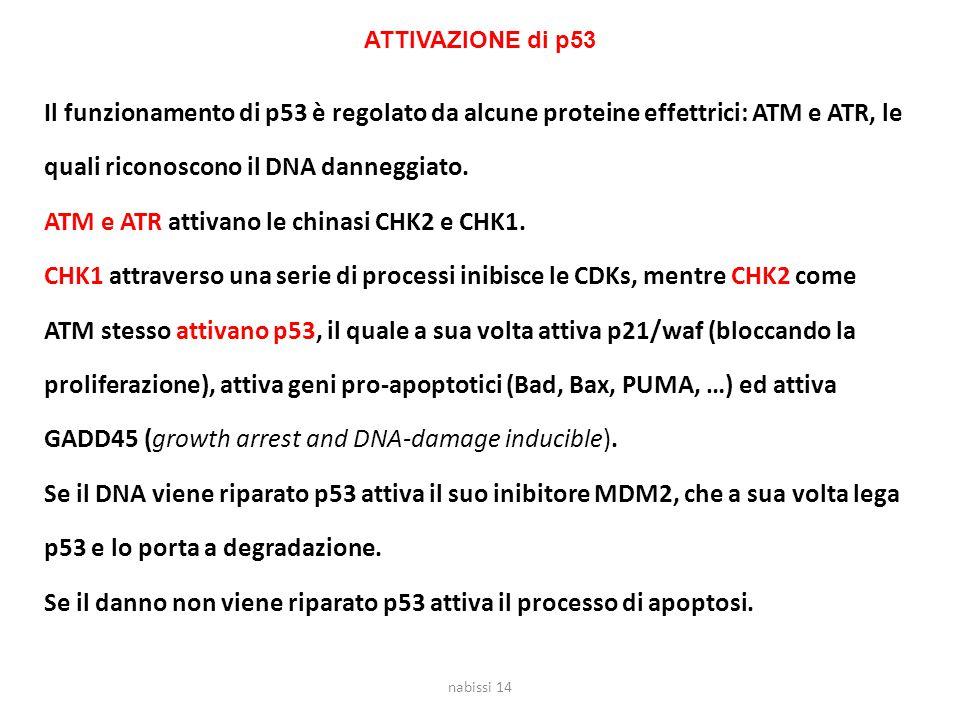 Il funzionamento di p53 è regolato da alcune proteine effettrici: ATM e ATR, le quali riconoscono il DNA danneggiato.
