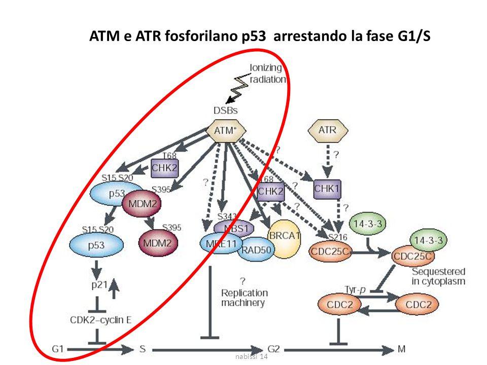 nabissi 14 ATM e ATR fosforilano p53 arrestando la fase G1/S nabissi 14