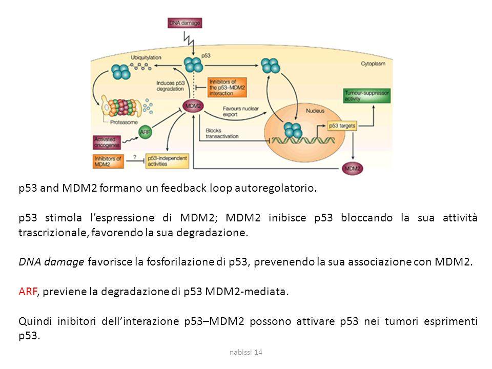 nabissi 14 p53 and MDM2 formano un feedback loop autoregolatorio.