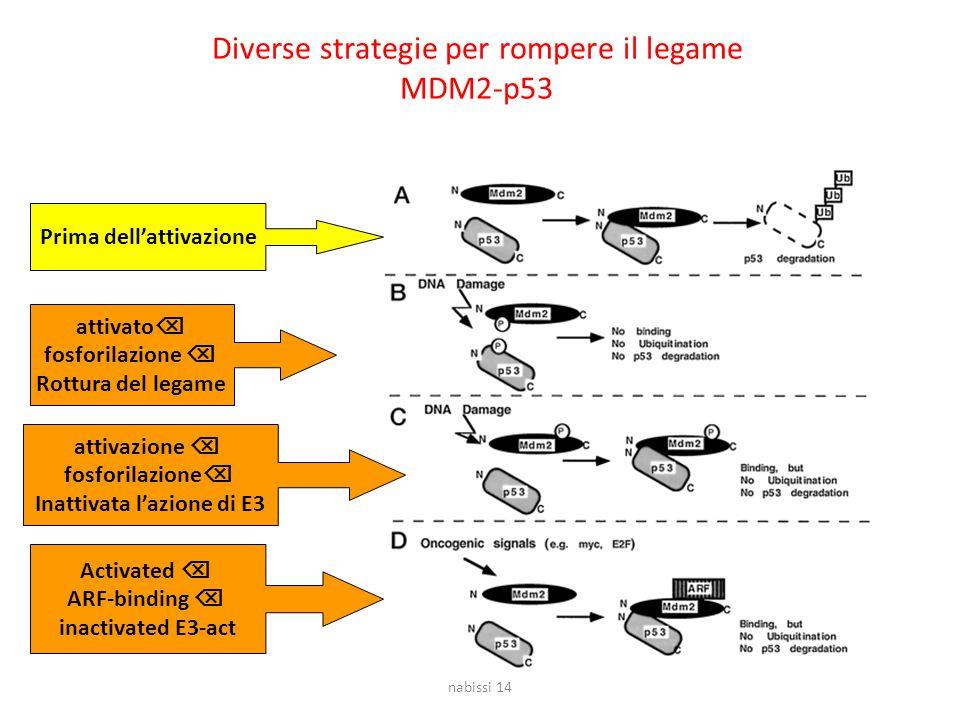 Diverse strategie per rompere il legame MDM2-p53 Prima dell'attivazione attivato  fosforilazione  Rottura del legame attivazione  fosforilazione  Inattivata l'azione di E3 Activated  ARF-binding  inactivated E3-act nabissi 14