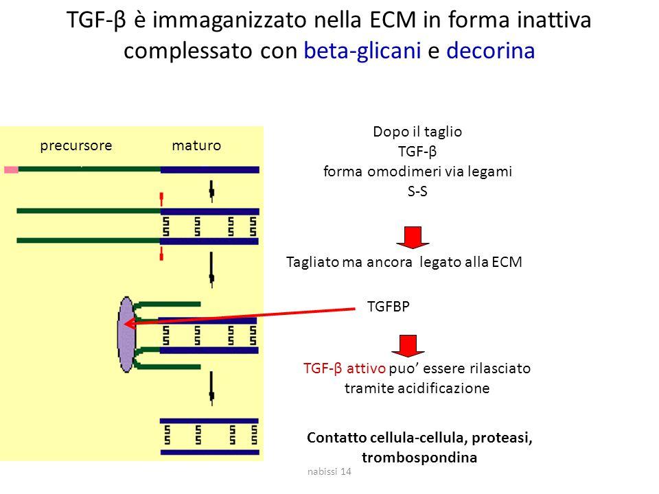 TGF-β è immaganizzato nella ECM in forma inattiva complessato con beta-glicani e decorina precursorematuro Dopo il taglio TGF-β forma omodimeri via legami S-S Tagliato ma ancora legato alla ECM TGF-β attivo puo' essere rilasciato tramite acidificazione Contatto cellula-cellula, proteasi, trombospondina TGFBP nabissi 14