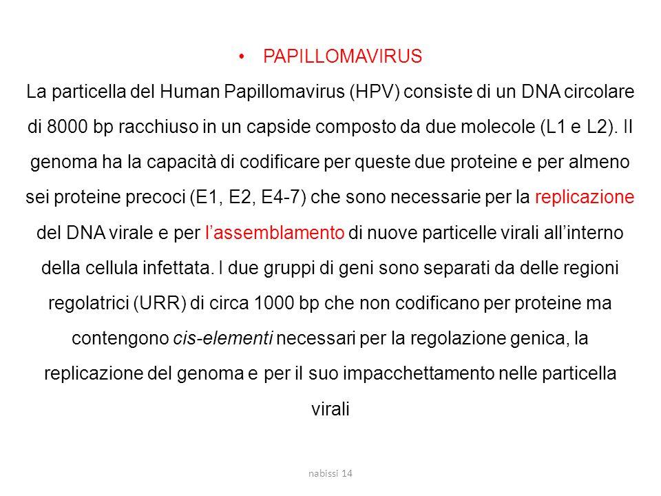 PAPILLOMAVIRUS La particella del Human Papillomavirus (HPV) consiste di un DNA circolare di 8000 bp racchiuso in un capside composto da due molecole (L1 e L2).