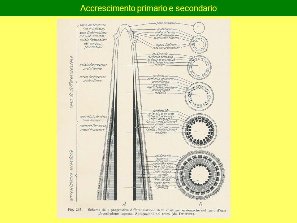 Accrescimento primario e secondario