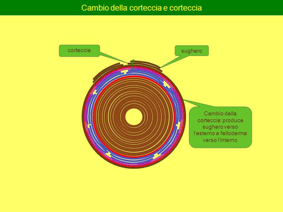 Cambio della corteccia e corteccia sughero Cambio della corteccia: produce sughero verso l'esterno e felloderma verso l'interno corteccia