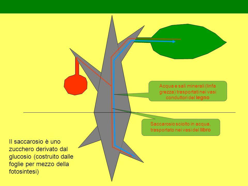 Acqua e sali minerali (linfa grezza) trasportati nei vasi conduttori del legno Saccarosio sciolto in acqua, trasportato nei vasi del libro Il saccarosio è uno zucchero derivato dal glucosio (costruito dalle foglie per mezzo della fotosintesi)