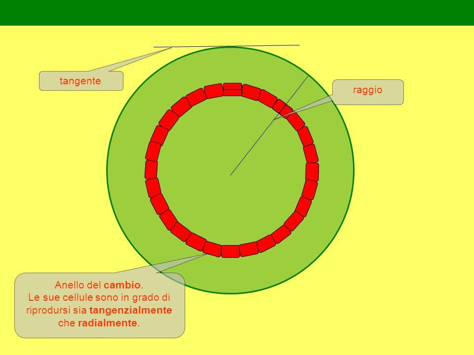 Anello del cambio.Le sue cellule sono in grado di riprodursi sia tangenzialmente che radialmente.
