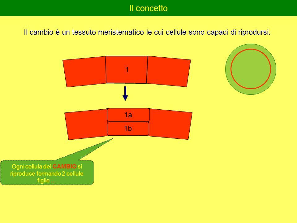 Il concetto Il cambio è un tessuto meristematico le cui cellule sono capaci di riprodursi.