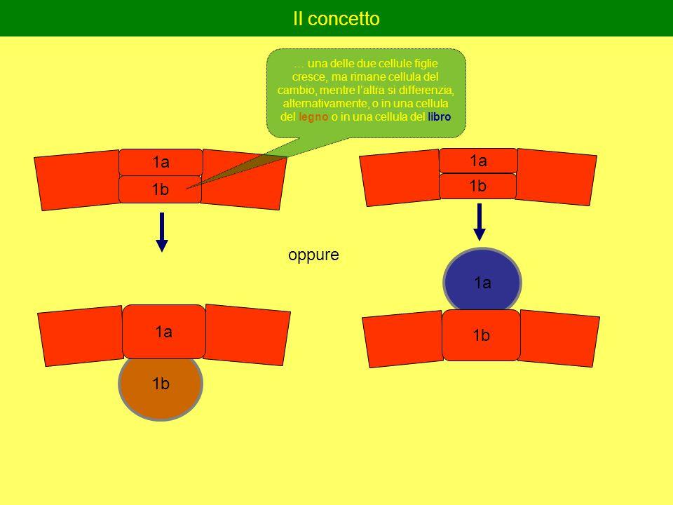 Il concetto 1b 1a 1b 1a 1b 1a 1b oppure … una delle due cellule figlie cresce, ma rimane cellula del cambio, mentre l'altra si differenzia, alternativamente, o in una cellula del legno o in una cellula del libro