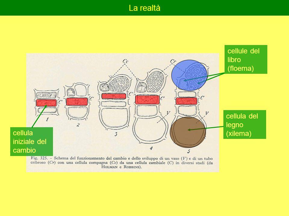 La realtà cellule del libro (floema) cellula del legno (xilema) cellula iniziale del cambio