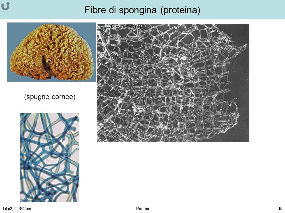 LiLu2, T. TerraniPoriferi15LiLu2, TT/2009Poriferi15 (spugne cornee) Fibre di spongina (proteina)