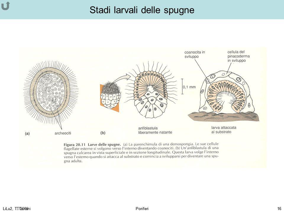 LiLu2, T. TerraniPoriferi16LiLu2, TT/2009Poriferi16 Stadi larvali delle spugne