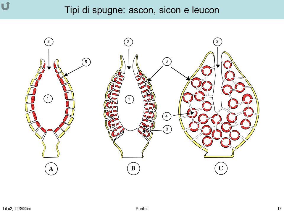 LiLu2, T. TerraniPoriferi17LiLu2, TT/2009Poriferi17 Tipi di spugne: ascon, sicon e leucon