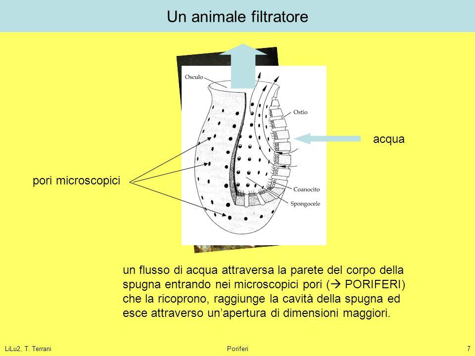 LiLu2, T. TerraniPoriferi7 Un animale filtratore un flusso di acqua attraversa la parete del corpo della spugna entrando nei microscopici pori (  POR