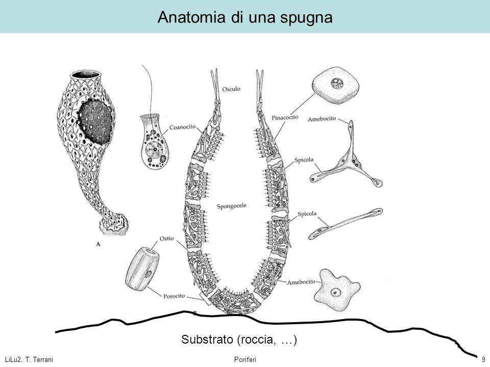 LiLu2, T. TerraniPoriferi9 Anatomia di una spugna Substrato (roccia, …)