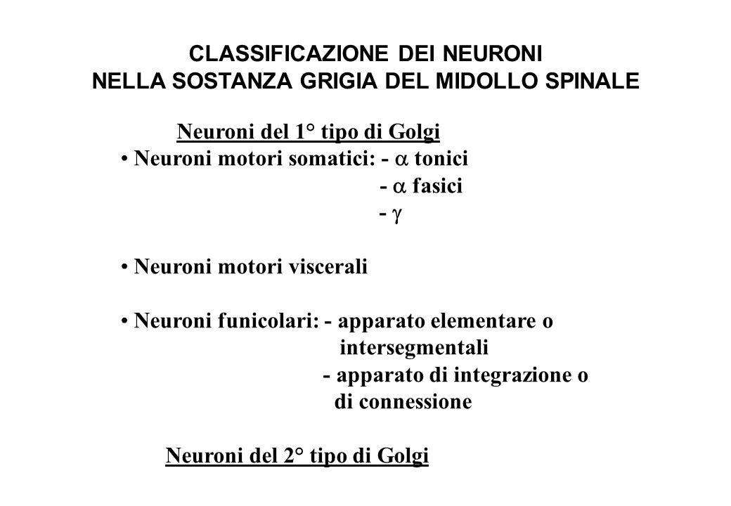 CLASSIFICAZIONE DEI NEURONI NELLA SOSTANZA GRIGIA DEL MIDOLLO SPINALE Neuroni del 1° tipo di Golgi Neuroni motori somatici: -  tonici 