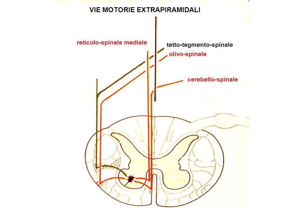 VIE MOTORIE EXTRAPIRAMIDALI reticolo-spinale mediale olivo-spinale cerebello-spinale tetto-tegmento-spinale