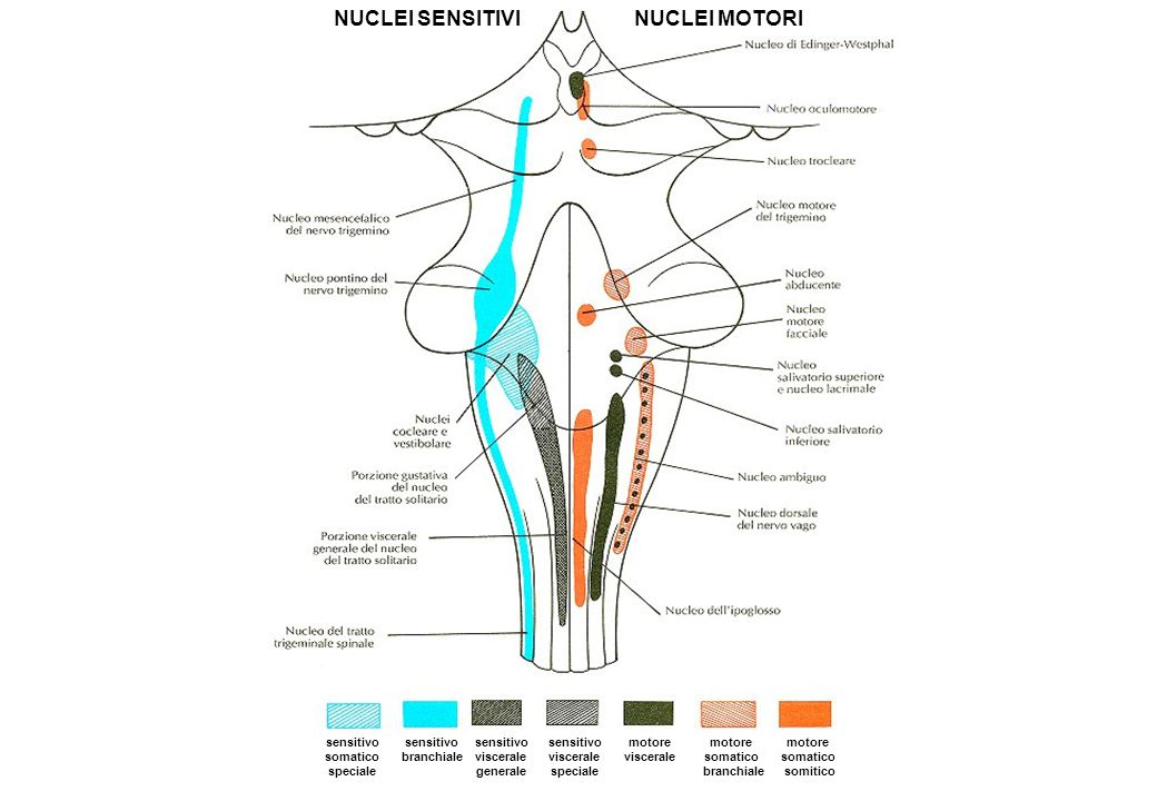 sensitivo somatico speciale motore somatico somitico motore somatico branchiale motore viscerale sensitivo viscerale speciale sensitivo viscerale gene