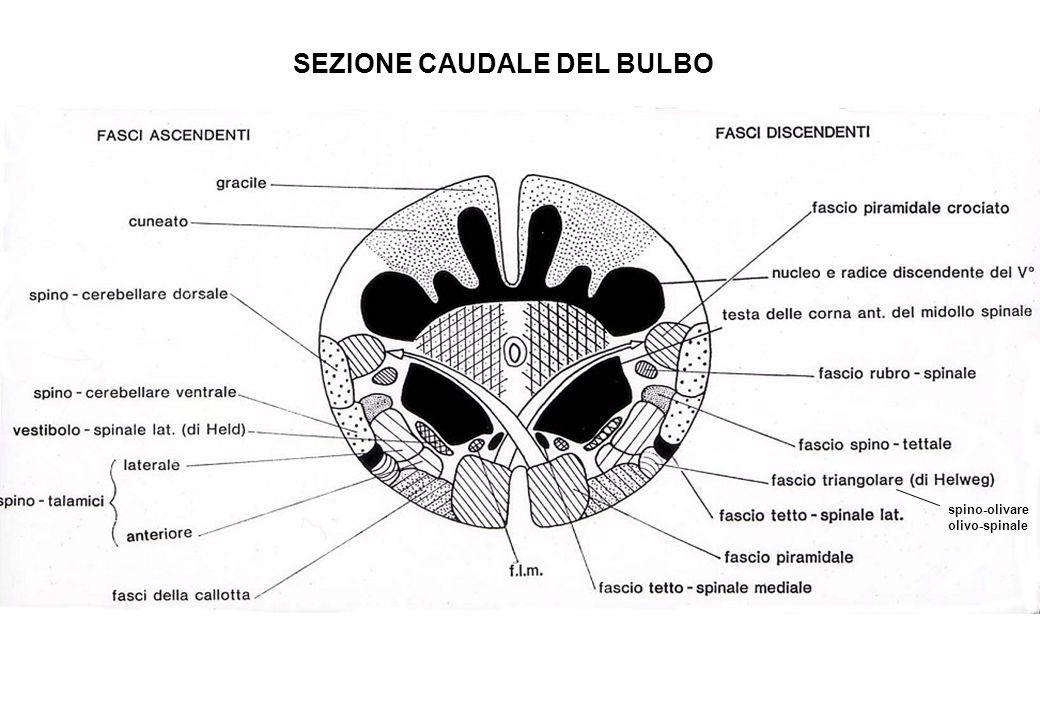 spino-olivare olivo-spinale SEZIONE CAUDALE DEL BULBO