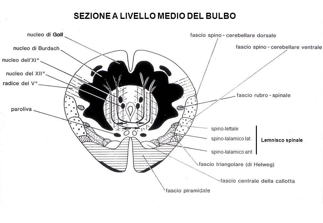 spino-tettale spino-talamico lat. spino-talamico ant. Lemnisco spinale SEZIONE A LIVELLO MEDIO DEL BULBO