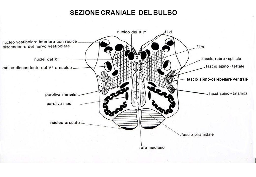 fascio spino-cerebellare ventrale SEZIONE CRANIALE DEL BULBO dorsale