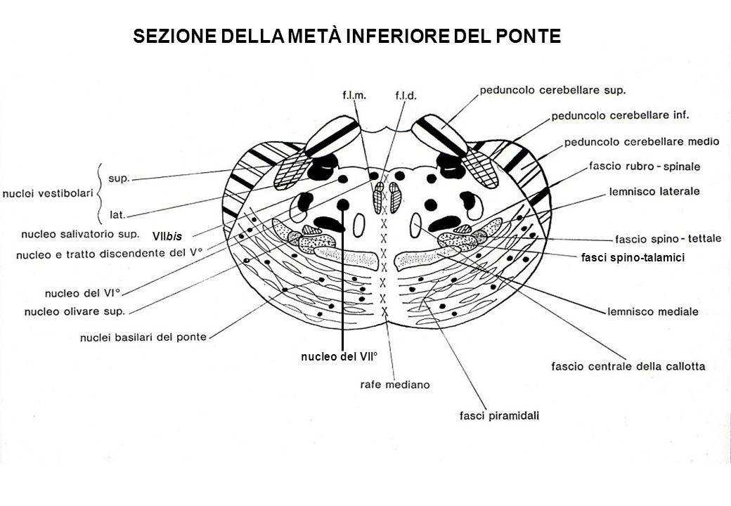 SEZIONE DELLA METÀ INFERIORE DEL PONTE fasci spino-talamici VIIbis nucleo del VII°