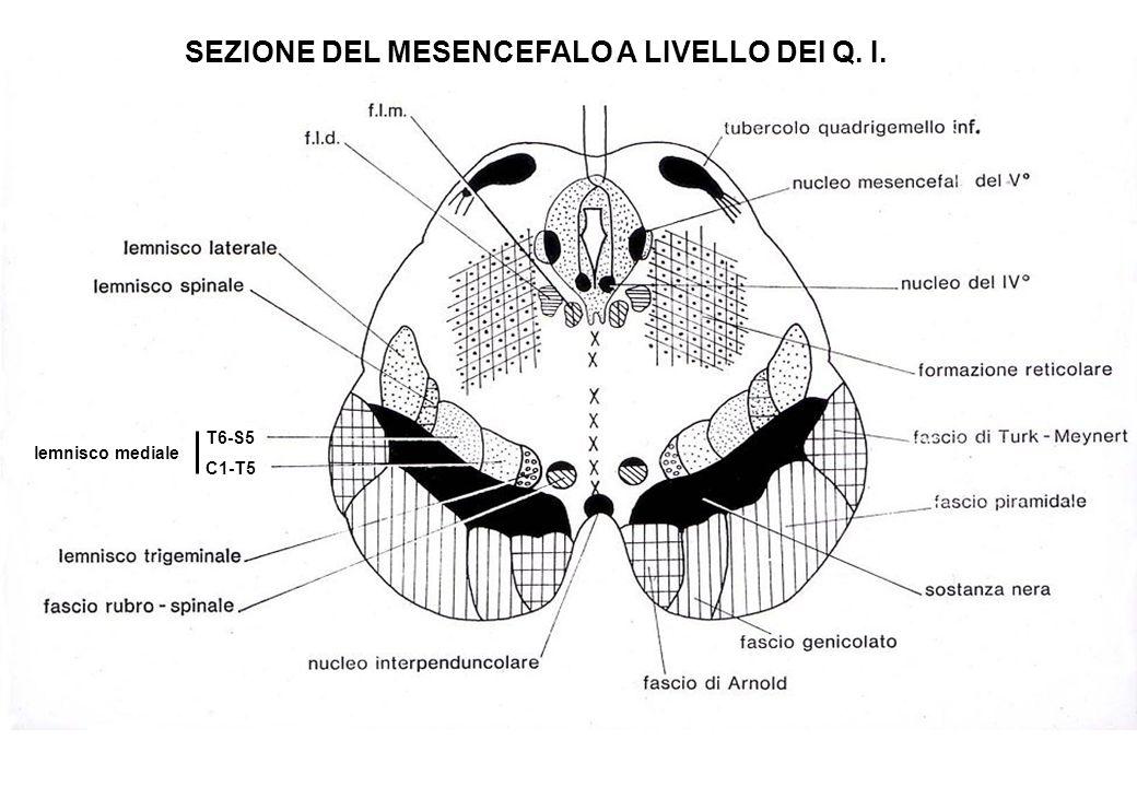 SEZIONE DEL MESENCEFALO A LIVELLO DEI Q. I. T6-S5 C1-T5 lemnisco mediale
