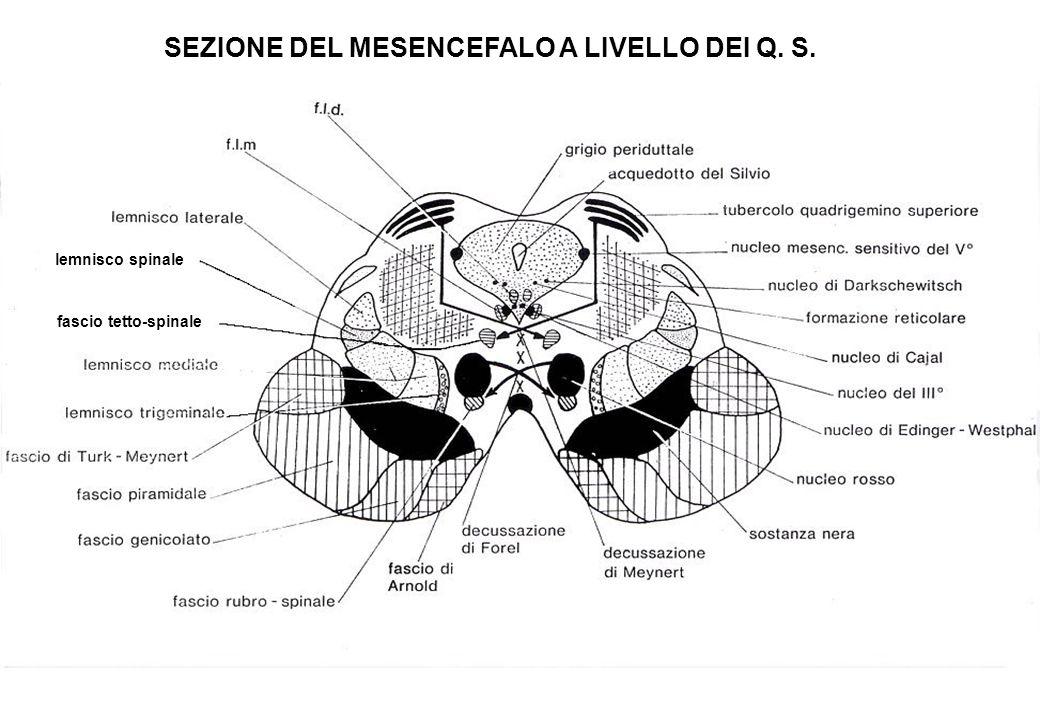 SEZIONE DEL MESENCEFALO A LIVELLO DEI Q. S. lemnisco spinale fascio tetto-spinale