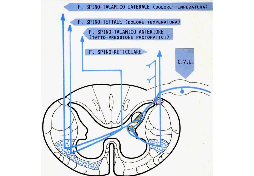 spino-tettale spino-talamico lat.spino-talamico ant.