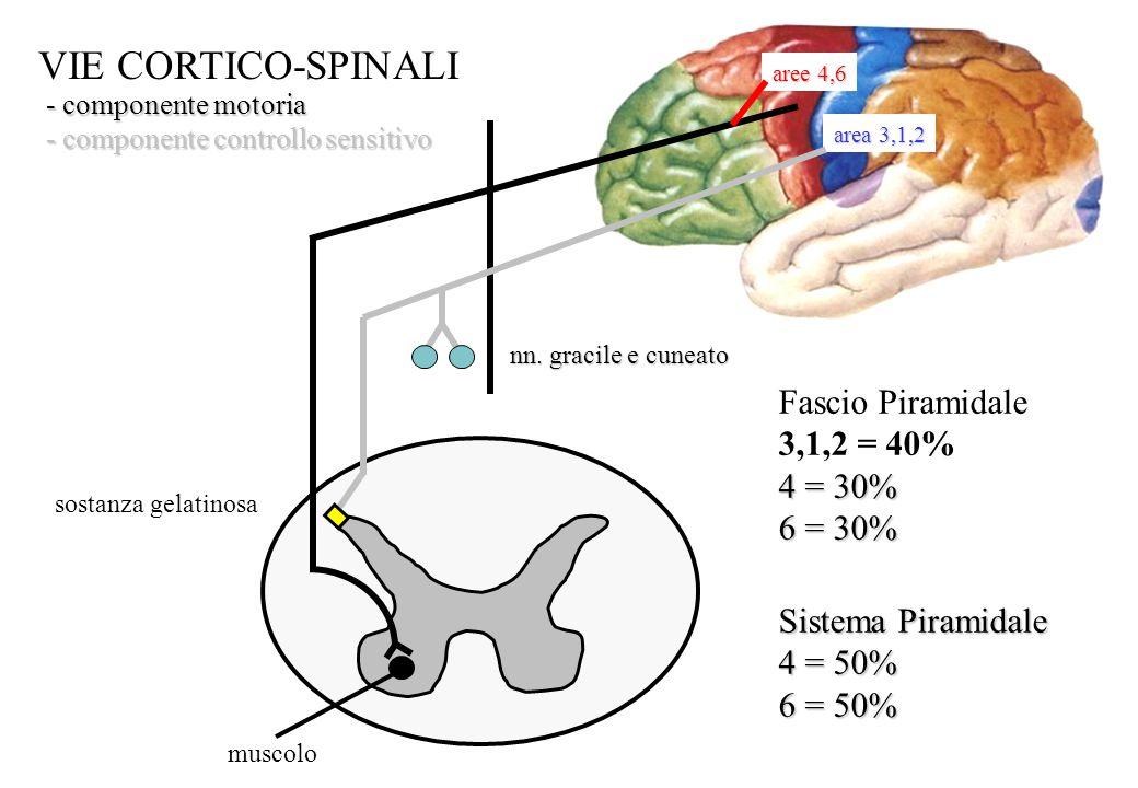 muscolo aree 4,6 area 3,1,2 nn. gracile e cuneato sostanza gelatinosa VIE CORTICO-SPINALI - componente motoria - componente controllo sensitivo Fascio