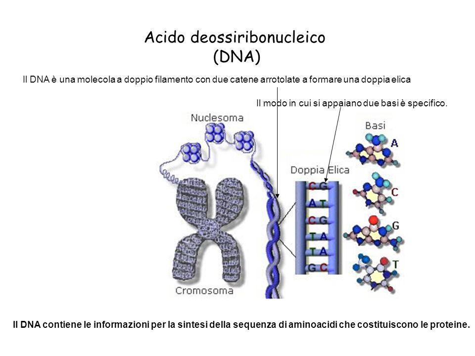 Il DNA è una molecola a doppio filamento con due catene arrotolate a formare una doppia elica Il modo in cui si appaiano due basi è specifico. Il DNA