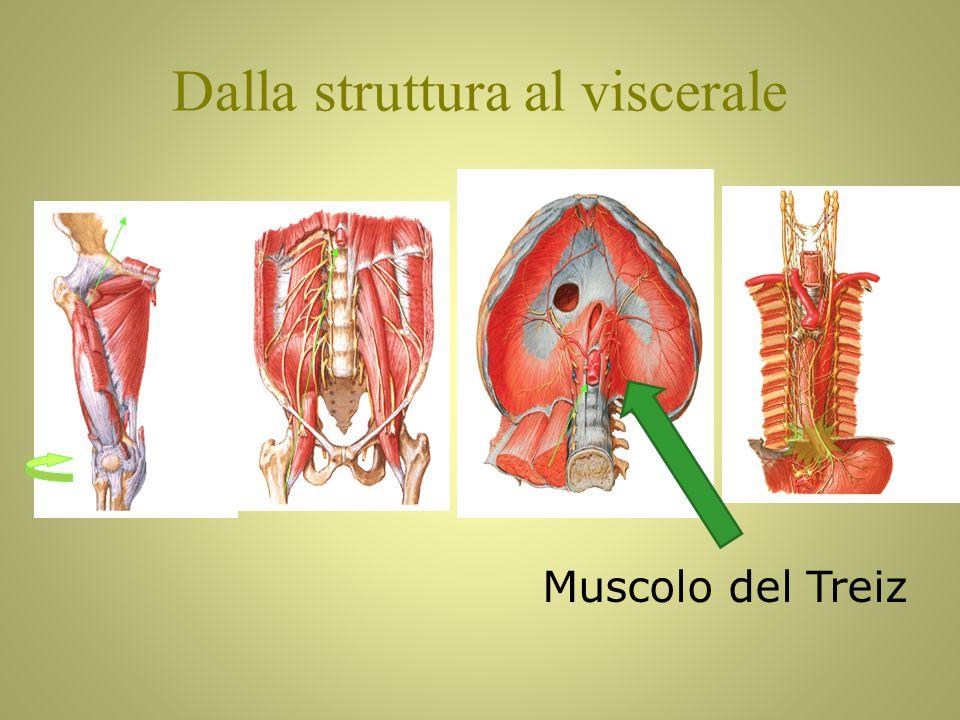 Muscolo del Treiz