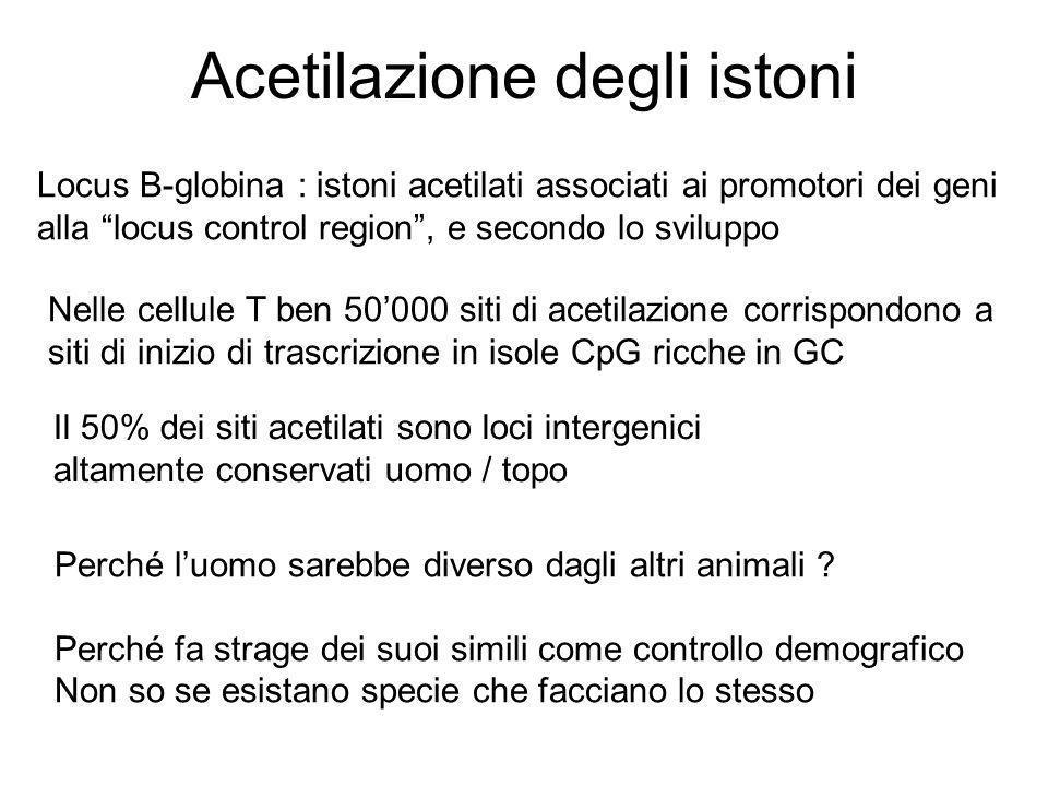 """Acetilazione degli istoni Locus B-globina : istoni acetilati associati ai promotori dei geni alla """"locus control region"""", e secondo lo sviluppo Nelle"""
