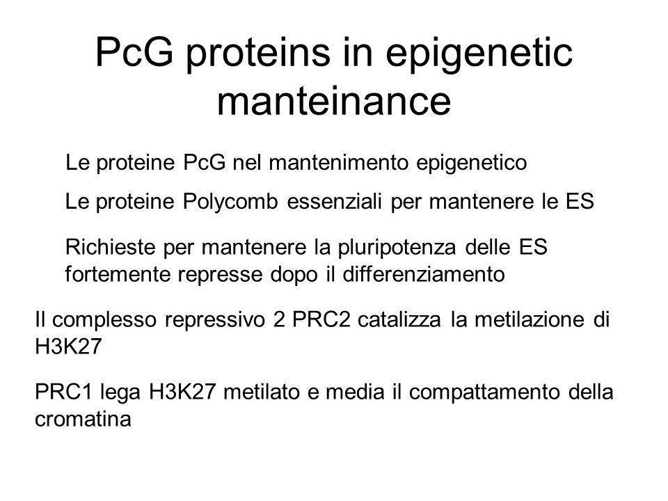 PcG proteins in epigenetic manteinance Le proteine Polycomb essenziali per mantenere le ES Richieste per mantenere la pluripotenza delle ES fortemente