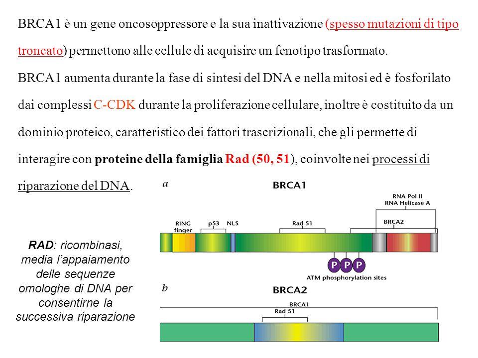 BRCA1 è un gene oncosoppressore e la sua inattivazione (spesso mutazioni di tipo troncato) permettono alle cellule di acquisire un fenotipo trasformat