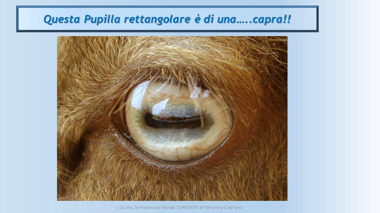 Questa Pupilla rettangolare è di una…..capra!! L'Occhio, la finestra sul Mondo CURIOSITA' di P.Brovia e V.Adriano