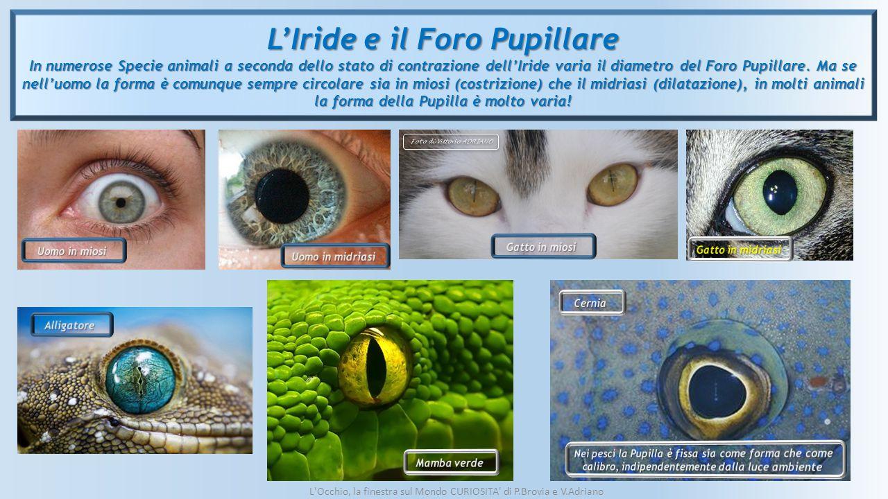 L'Iride e il Foro Pupillare In numerose Specie animali a seconda dello stato di contrazione dell'Iride varia il diametro del Foro Pupillare. Ma se nel