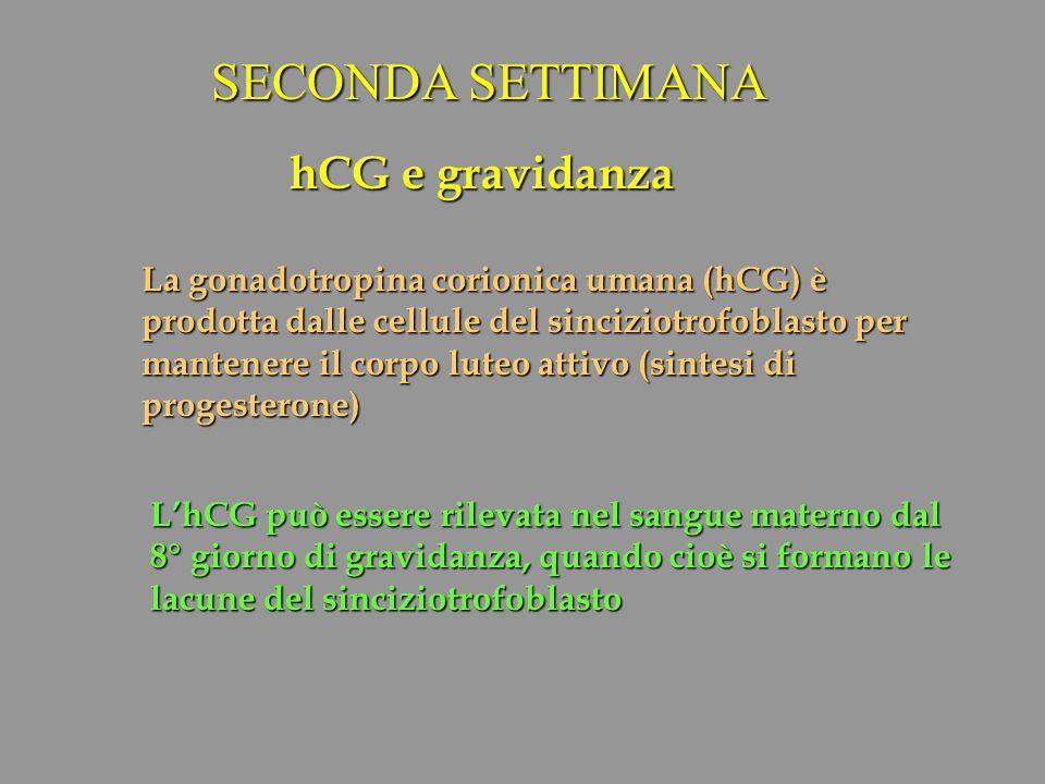 hCG e gravidanza La gonadotropina corionica umana (hCG) è prodotta dalle cellule del sinciziotrofoblasto per mantenere il corpo luteo attivo (sintesi
