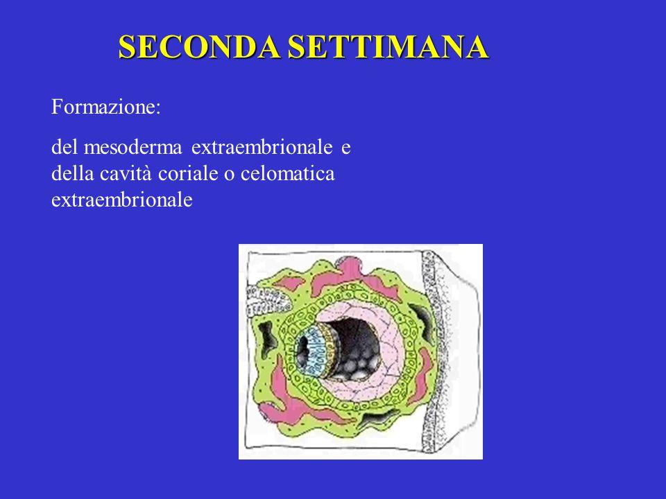 SECONDA SETTIMANA Formazione: del mesoderma extraembrionale e della cavità coriale o celomatica extraembrionale