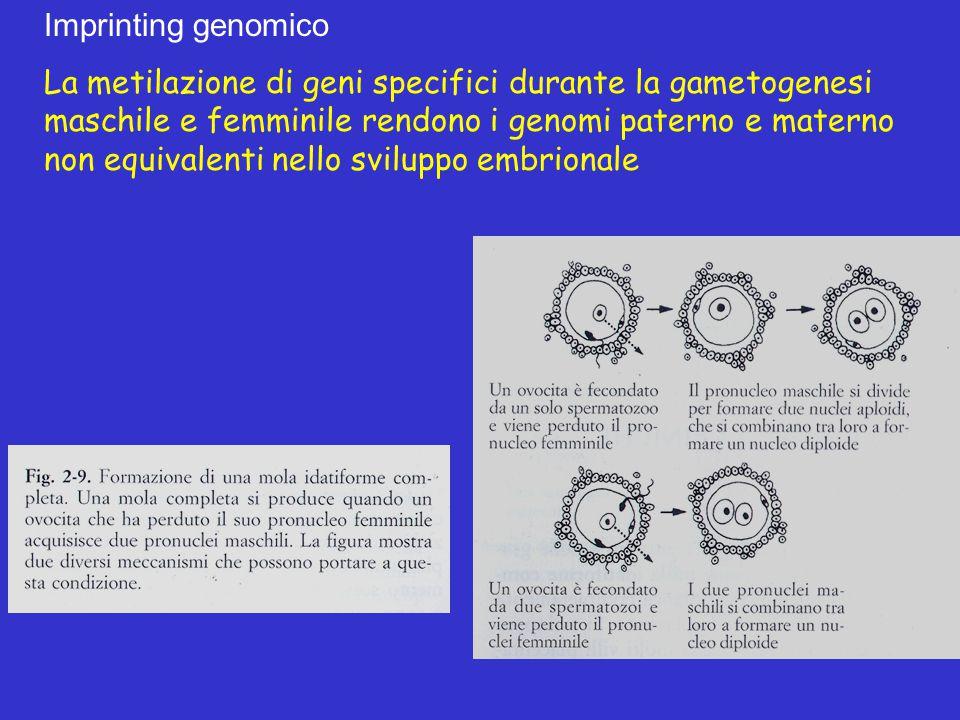 Imprinting genomico La metilazione di geni specifici durante la gametogenesi maschile e femminile rendono i genomi paterno e materno non equivalenti n