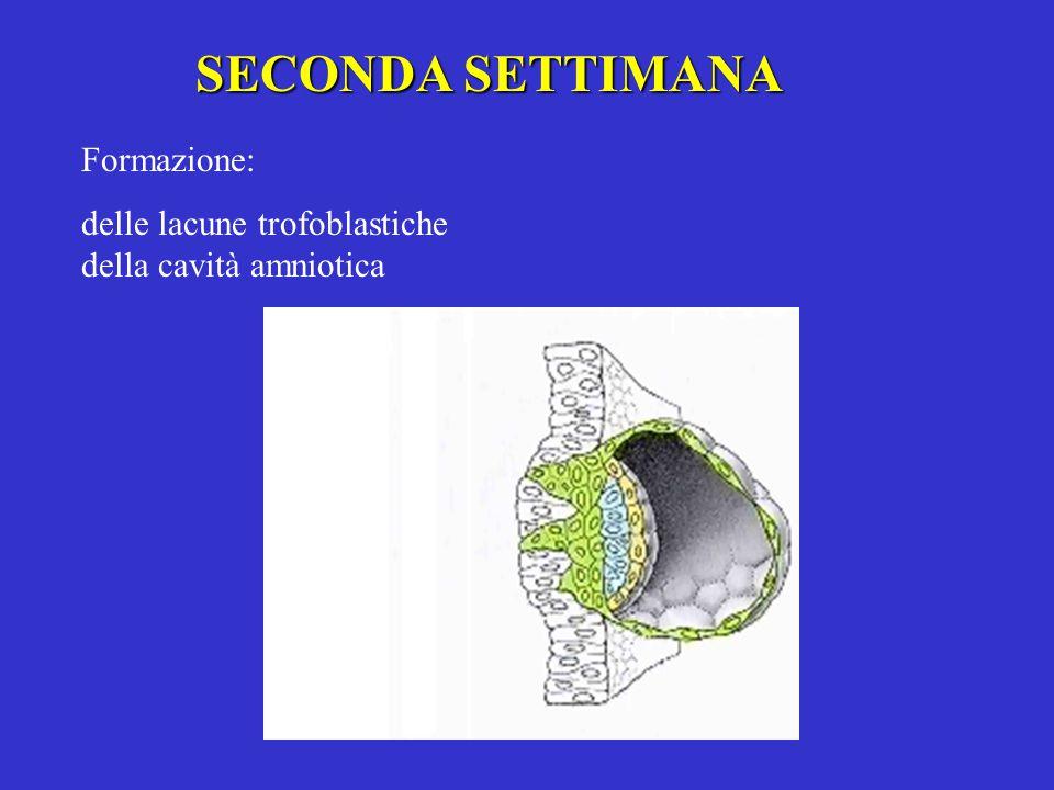 SECONDA SETTIMANA Formazione: delle lacune trofoblastiche della cavità amniotica